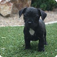 Adopt A Pet :: Mork - Henderson, NV