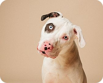 Dalmatian/American Staffordshire Terrier Mix Dog for adoption in Houston, Texas - Pimento Pepper