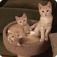 Adopt A Pet :: Bronte - Gaithersburg, MD