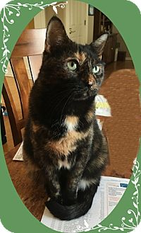 Domestic Shorthair Cat for adoption in Mt. Prospect, Illinois - Bonnie