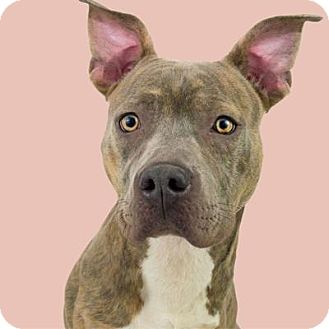 Pit Bull Terrier Mix Dog for adoption in Dallas, Texas - GUEST DOG- Ellie