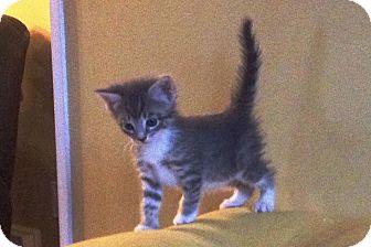 Domestic Shorthair Kitten for adoption in Island Park, New York - Ranger