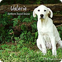 Adopt A Pet :: Valerie - Southington, CT