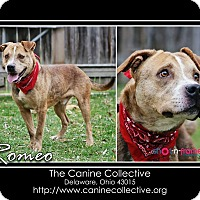 Staffordshire Bull Terrier Mix Dog for adoption in Delaware, Ohio - Romeo