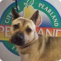 Adopt A Pet :: SHIBA - Pearland, TX