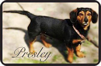 Dachshund Mix Dog for adoption in Mount Ayr, Iowa - Presley