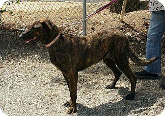 Greyhound/Labrador Retriever Mix Dog for adoption in Yucaipa, California - Rory