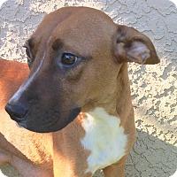 Adopt A Pet :: Scarlett - St Petersburg, FL