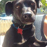 Adopt A Pet :: Ralphie - Encino, CA