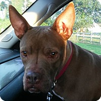 Pit Bull Terrier Mix Dog for adoption in Spring, Texas - DeDe