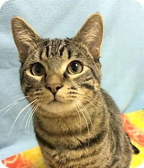 Domestic Shorthair Cat for adoption in Colorado Springs, Colorado - Rhubarb