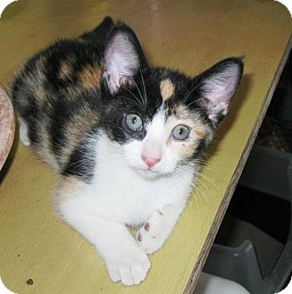 Domestic Shorthair Kitten for adoption in Richardson, Texas - Jewel-13463