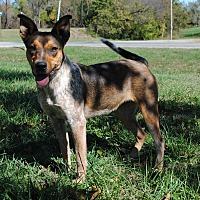 Blue Heeler Mix Dog for adoption in Parsons, Kansas - London
