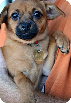 Chihuahua Mix Puppy for adoption in Fairfax Station, Virginia - Squirt