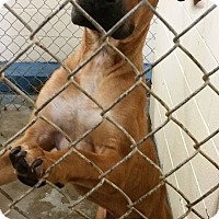 Adopt A Pet :: JANGO-heartworm negative! - Cleveland, MS