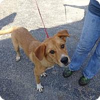 Adopt A Pet :: Boots - Delaware, OH