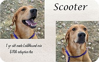 Labrador Retriever/Hound (Unknown Type) Mix Dog for adoption in Jefferson City, Tennessee - Scooter