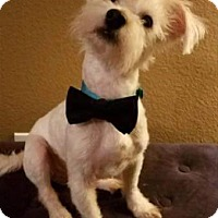 Adopt A Pet :: Milo IV - Dallas, TX