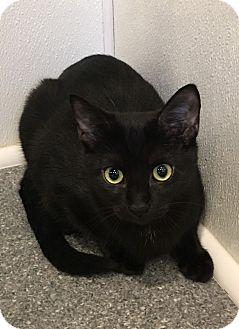 Domestic Shorthair Kitten for adoption in Randleman, North Carolina - Quincy