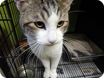 Domestic Shorthair Cat for adoption in Cedar City, Utah - Ares