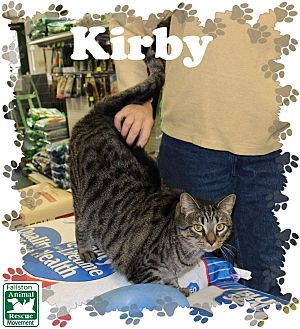 Domestic Mediumhair Cat for adoption in Fallston, Maryland - Kirby