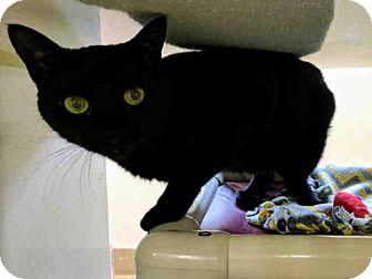 Domestic Mediumhair Cat for adoption in Scotia, New York - LICORICE