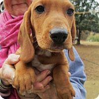 Adopt A Pet :: CLAUDE - Williston Park, NY