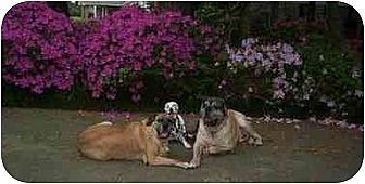 Mastiff Dog for adoption in Houston, Texas - Mastiff