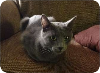 Russian Blue Cat for adoption in Hurst, Texas - Prince Charming