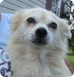 Pomeranian Mix Dog for adoption in Fairmount, Georgia - Farrah Fawcett