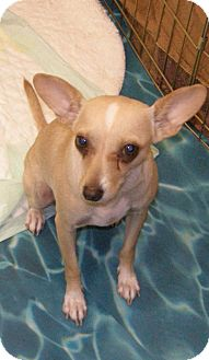 Chihuahua Mix Dog for adoption in Las Vegas, Nevada - Helen