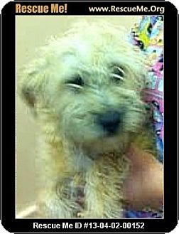 Schnauzer (Miniature)/Poodle (Miniature) Mix Puppy for adoption in Boulder, Colorado - Tasha