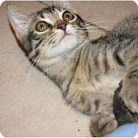 Adopt A Pet :: tigTiggerger - Tomball, TX