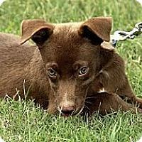 Adopt A Pet :: Angelina - Brattleboro, VT
