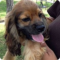 Adopt A Pet :: Paul - Sugarland, TX