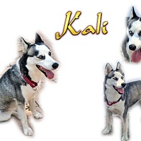 Adopt A Pet :: Kali - Seminole, FL