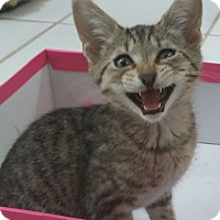 Adopt A Pet :: Kaylee - Speonk, NY