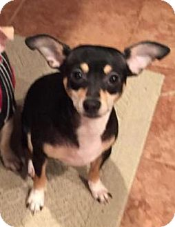Chihuahua/Miniature Pinscher Mix Dog for adoption in Honeoye Falls, New York - Willie