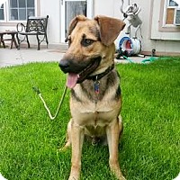 Adopt A Pet :: Shep - Denver, CO