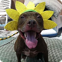 Adopt A Pet :: Tilly *The Red Beauty* - Canoga Park, CA