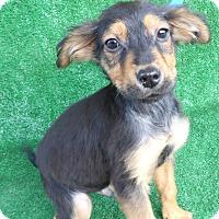 Adopt A Pet :: Keyo - San Diego, CA