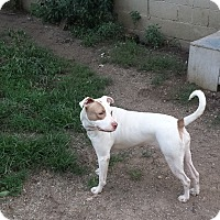 Pit Bull Terrier Mix Dog for adoption in Lafayette, Indiana - Bonnie