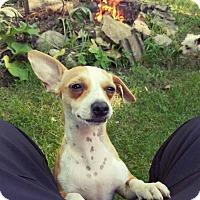 Adopt A Pet :: Pebbles - Grafton, WI