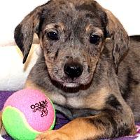 Adopt A Pet :: Ambrosia~adopted! - Glastonbury, CT