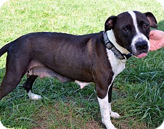 American Staffordshire Terrier/Pit Bull Terrier Mix Dog for adoption in Avon, Ohio - Madeline
