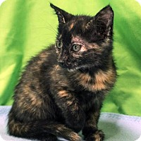 Domestic Shorthair Kitten for adoption in Austin, Texas - Curie