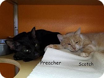 Domestic Shorthair Cat for adoption in Elyria, Ohio - Scotch & Preacher