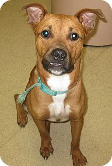 Shepherd (Unknown Type) Mix Puppy for adoption in Gary, Indiana - Lucy