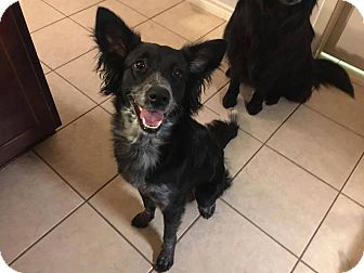 Border Collie Mix Dog for adoption in Allen, Texas - Jade #306