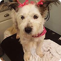 Adopt A Pet :: Darcie - St. Charles, MO